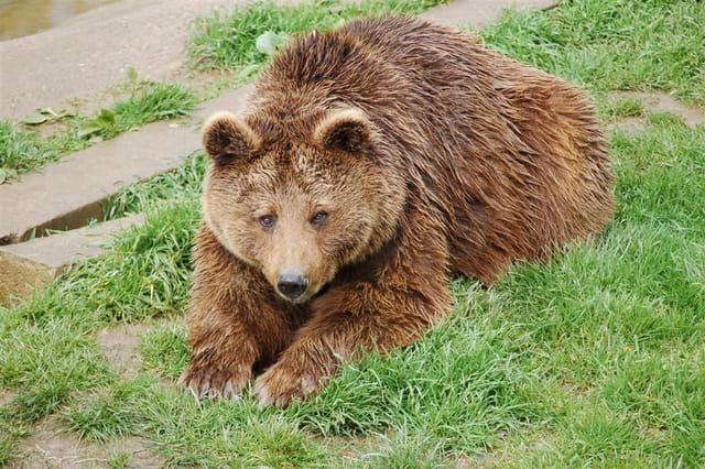 Viel ours sauvé