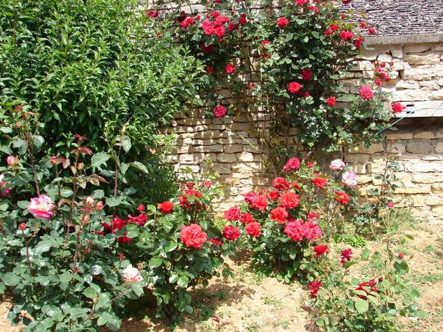Vieux mur et roses