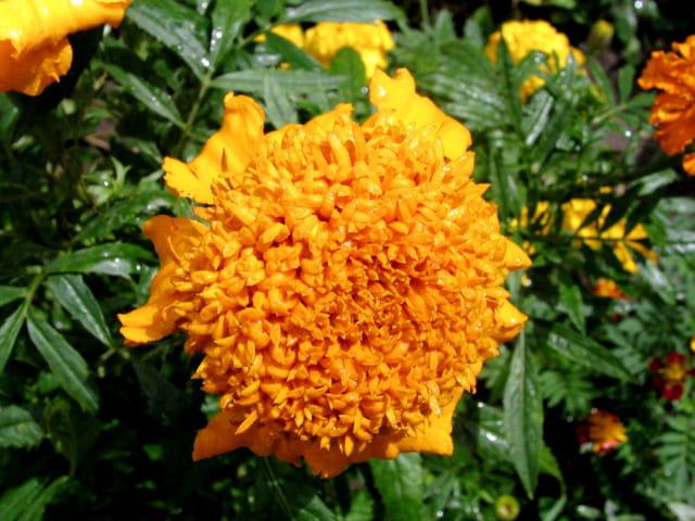 Vif orange