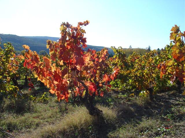 Vigne à l'automne