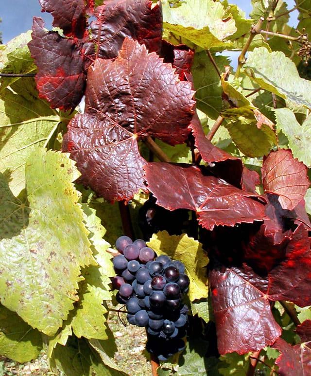 Vigne colorée