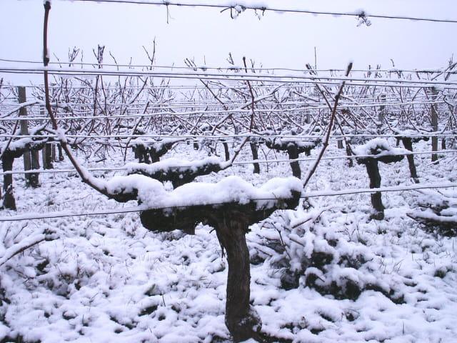 Vigne en bordelais sous la neige