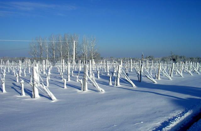 Vignes du blayais sous la neige