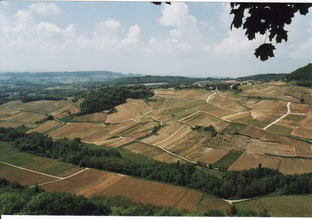 Vignes du vin jaune du Jura