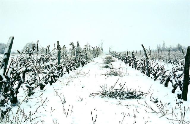 Vignes enneigées