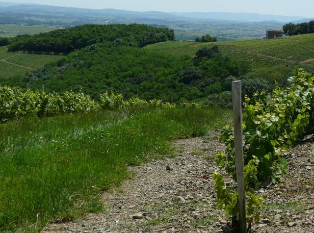 Vignes et cabane du Beaujolais