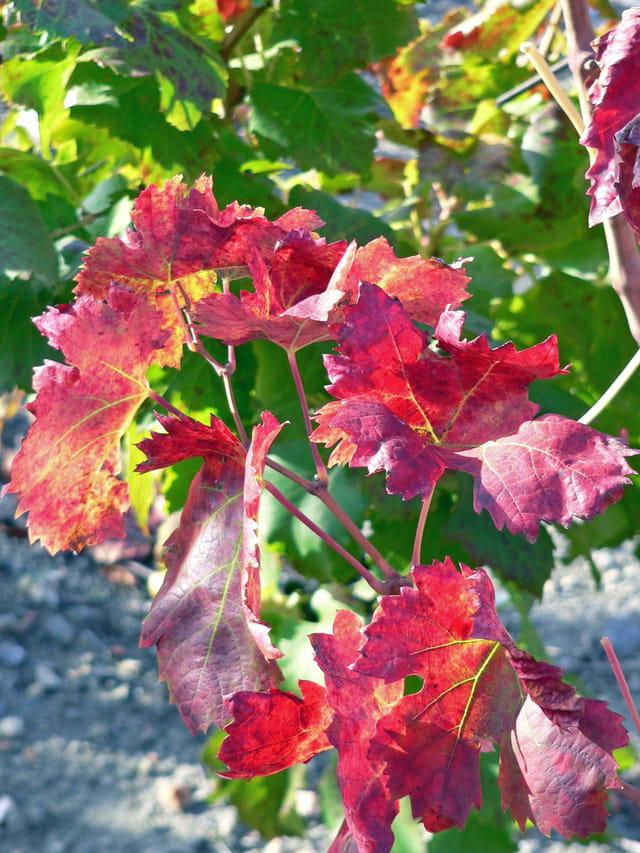 Vignoble d'automne