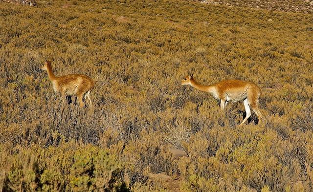 vigognes dans le désert de Chihuana