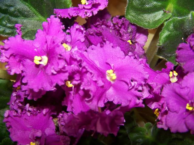 Violettes africaines par c line roy sur l 39 internaute for Violette africane