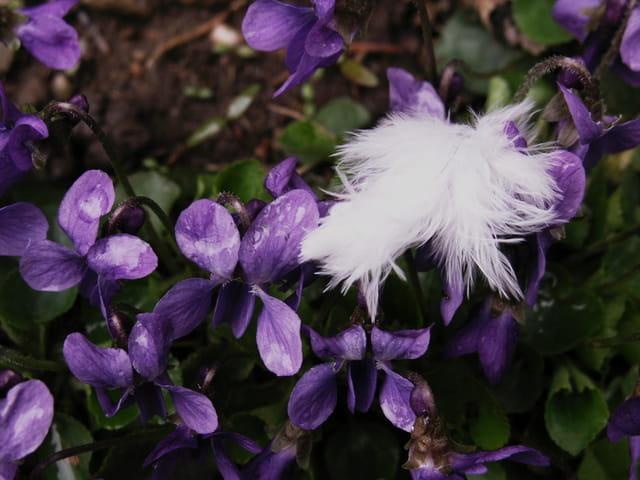 Violettes et plume.