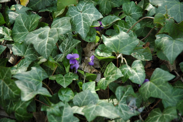 Violettes sauvage