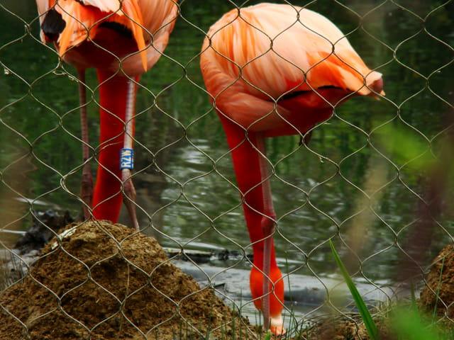visite au zoo, flamants roses de Cuba
