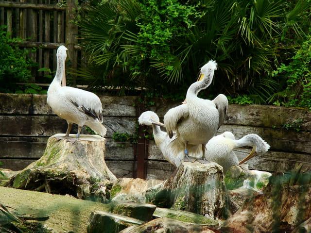visite au zoo, pélicans frisés