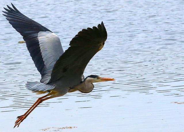 Vol au dessus du lac marin.