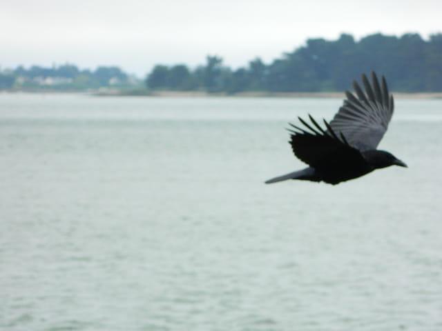 Vol d'un corbeau sur la mer