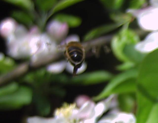 Vol d'une abeille