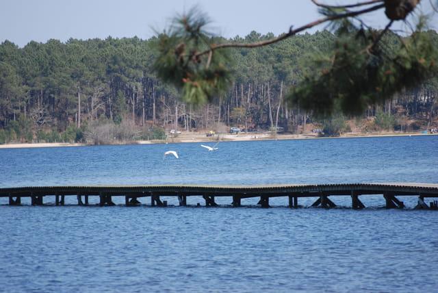 vol de cygnes au dessus du lac