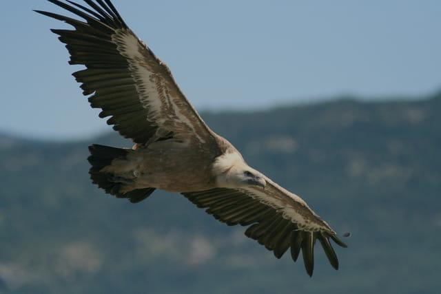 Vol de vautour fauve