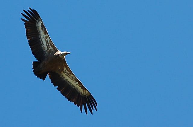 Vol du vautour fauve