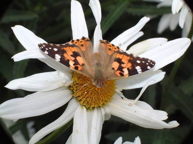 Vol papillon