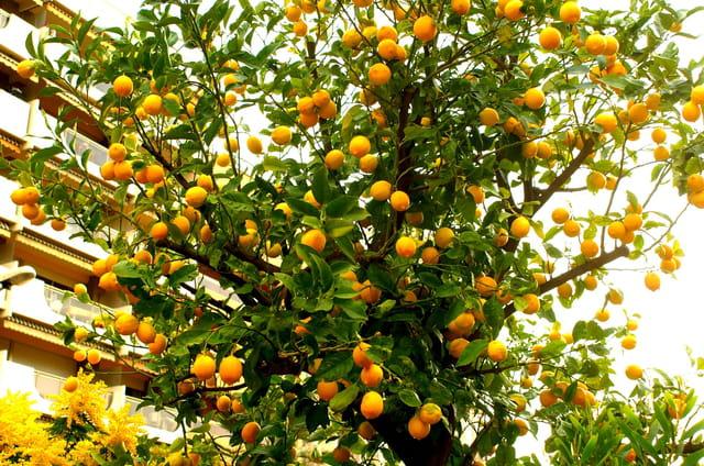 Vous en voulez des citrons?