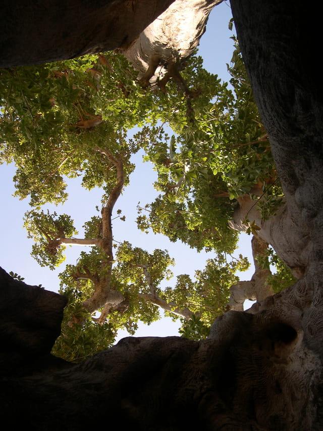 Vue sur le ciel, de l'intérieur d'un baobab sacré