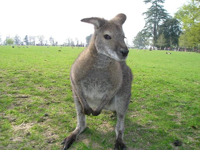 Wallaby du bennet