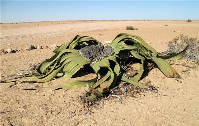Welswitschia mirabilis par michel esteve sur l 39 internaute - Le comptoir du mirabilis ...