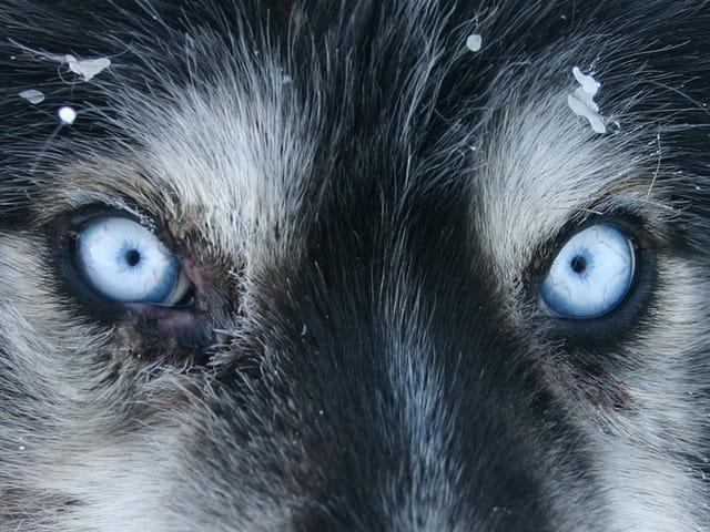 Yeux de husky