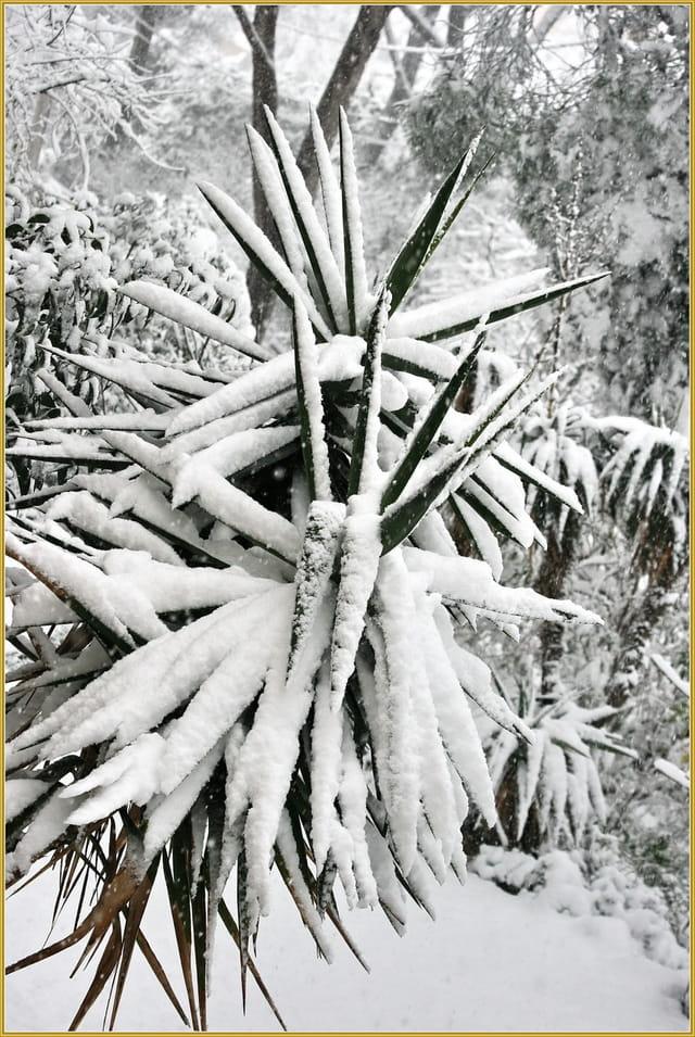 Yucca sous la neige