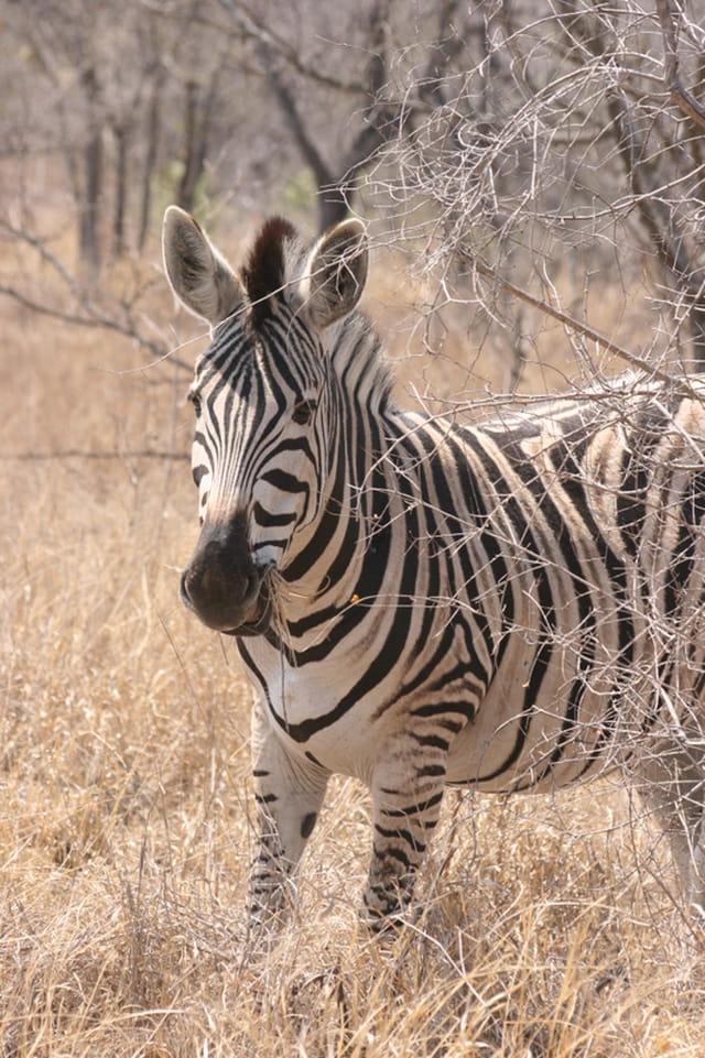 Zèbre du Kruger