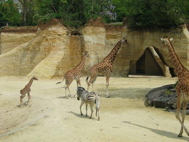 Zèbre et famille girafe