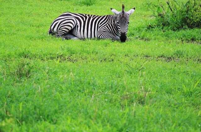 Zèbre Serengeti