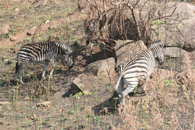 Zèbres du Swaziland