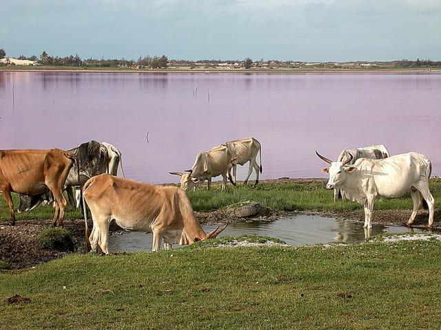 Zébus sur le lac rose