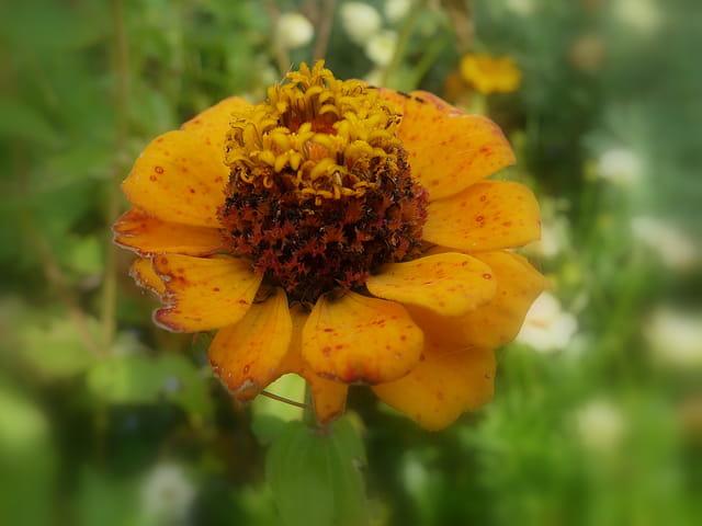 Zinnia en fin de floraison