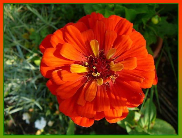 Zinnia orange de mon jardin