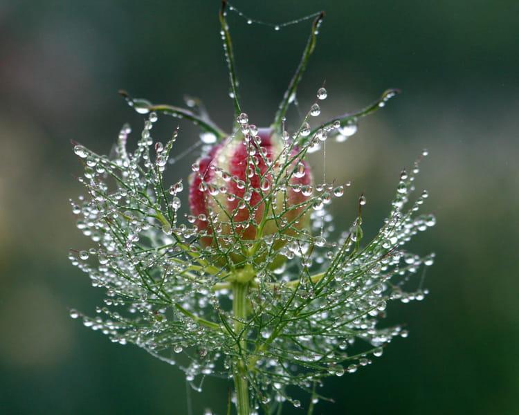 Le fruit de la nigelle par jean louis guianvarch sur l for Plante nigelle