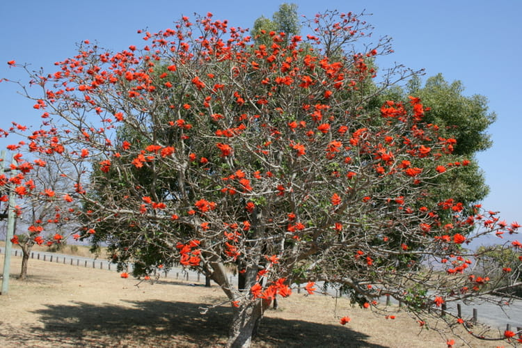 Arbre de corail rouge par eric masson sur l 39 internaute - Arbre feuille rouge fruit rouge ...
