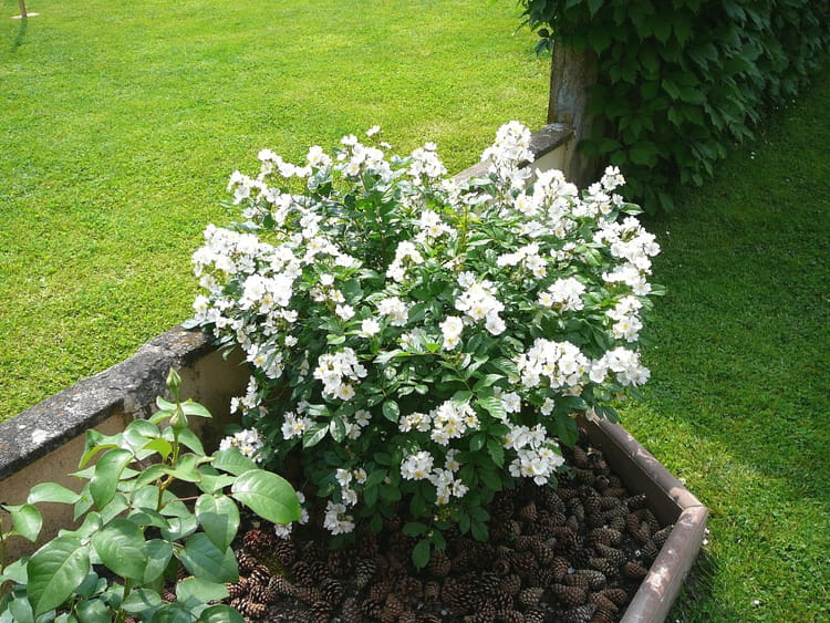 rosier toutes petites fleurs blanches par jacqueline dubois sur l 39 internaute. Black Bedroom Furniture Sets. Home Design Ideas