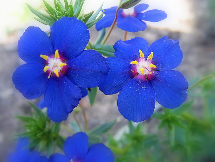 Fleurs bleues au jardin par malou troel sur l 39 internaute for Au jardin de la nymphe bleue