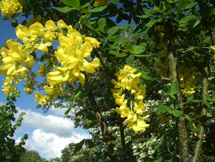 des fleurs d 39 acacia jaune par monique jouary sur l 39 internaute. Black Bedroom Furniture Sets. Home Design Ideas