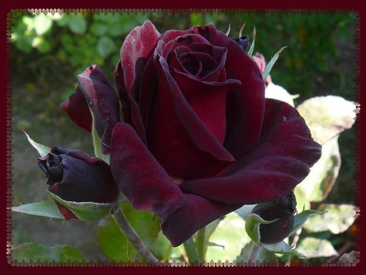 rose black baccara sur ma terrasse par jacqueline dubois sur l 39 internaute. Black Bedroom Furniture Sets. Home Design Ideas