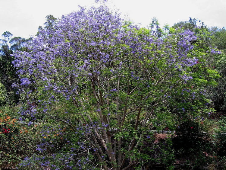 arbre fleurs bleues par jean pierre marro sur l 39 internaute. Black Bedroom Furniture Sets. Home Design Ideas
