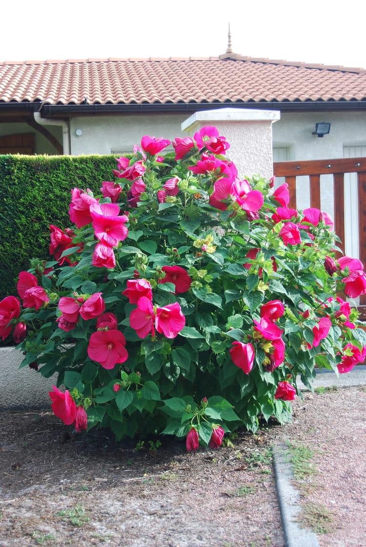 L 39 Hibiscus De Jardin Par Genevieve Lapoux Sur L 39 Internaute
