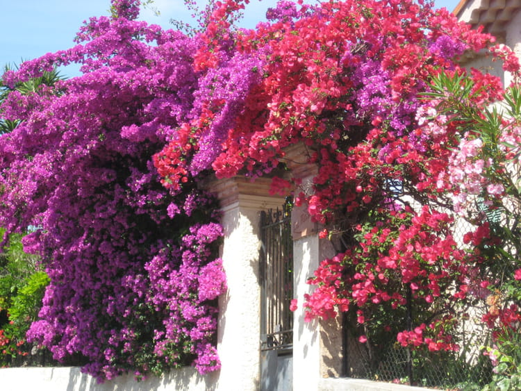 Bougainvilliers par laure belmondi sur l 39 internaute for Culture du bougainvillier en pot