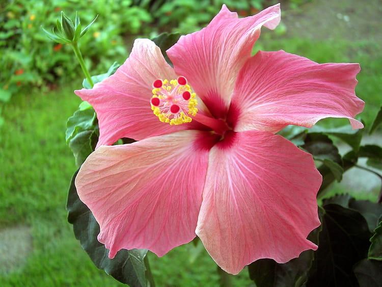 fleur d 39 hibiscus par claude renouf sur l 39 internaute. Black Bedroom Furniture Sets. Home Design Ideas
