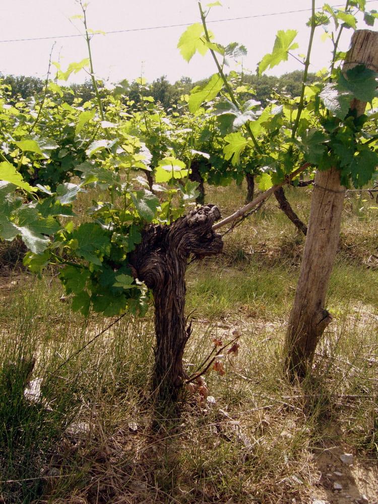 Cep de vigne par serge dorne sur l 39 internaute for Cep de vigne decoration