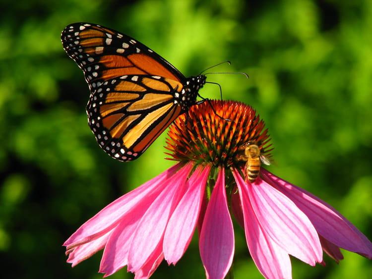 Abeille et papillon par sur l 39 internaute - Image papillon et fleur ...