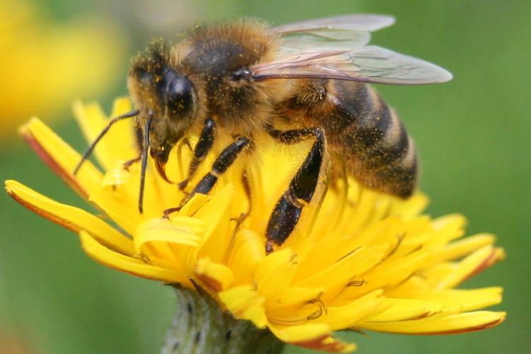 abeille sur fleur de pissenlit par christophe gal sur l 39 internaute. Black Bedroom Furniture Sets. Home Design Ideas